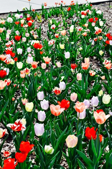 spring tulip flowers blooming picture